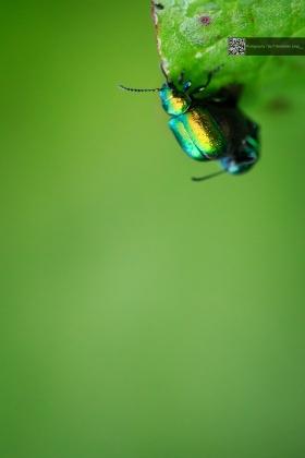 Copulating Bugs - Käfersex