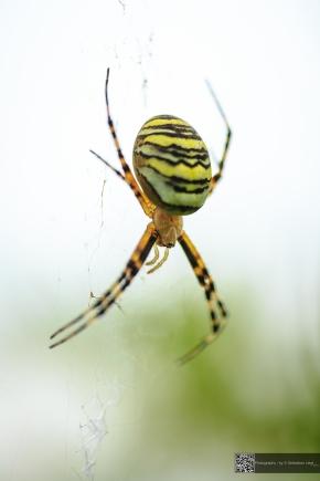 Waspspider - Wespenspinne