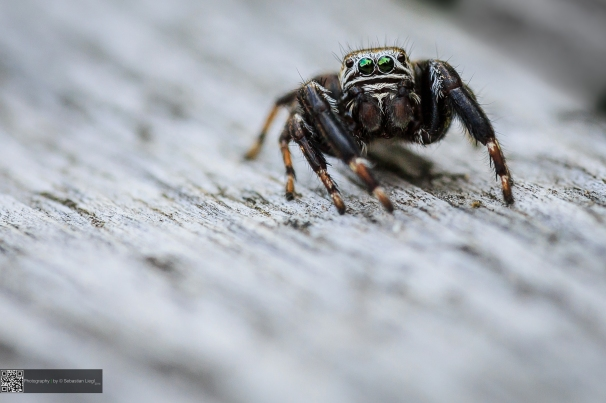 Jumping Spider - Springspinne