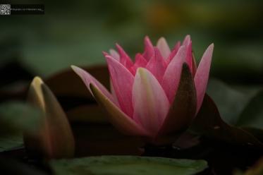 Nymphaea colorata - Seerose