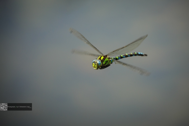 Flying Dragon - Fliegende Libelle