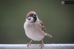 Sparrow - Spatz