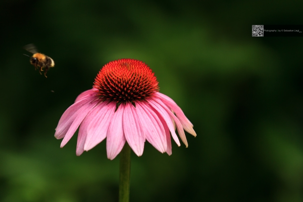 Visited Flower - Blume mit Besucher
