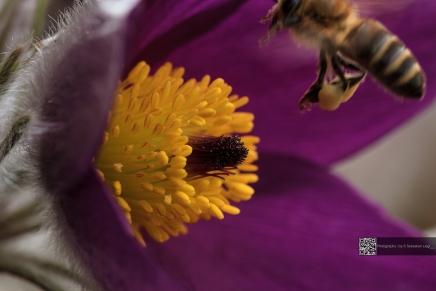 Kuhschelle mit anfliegender Biene